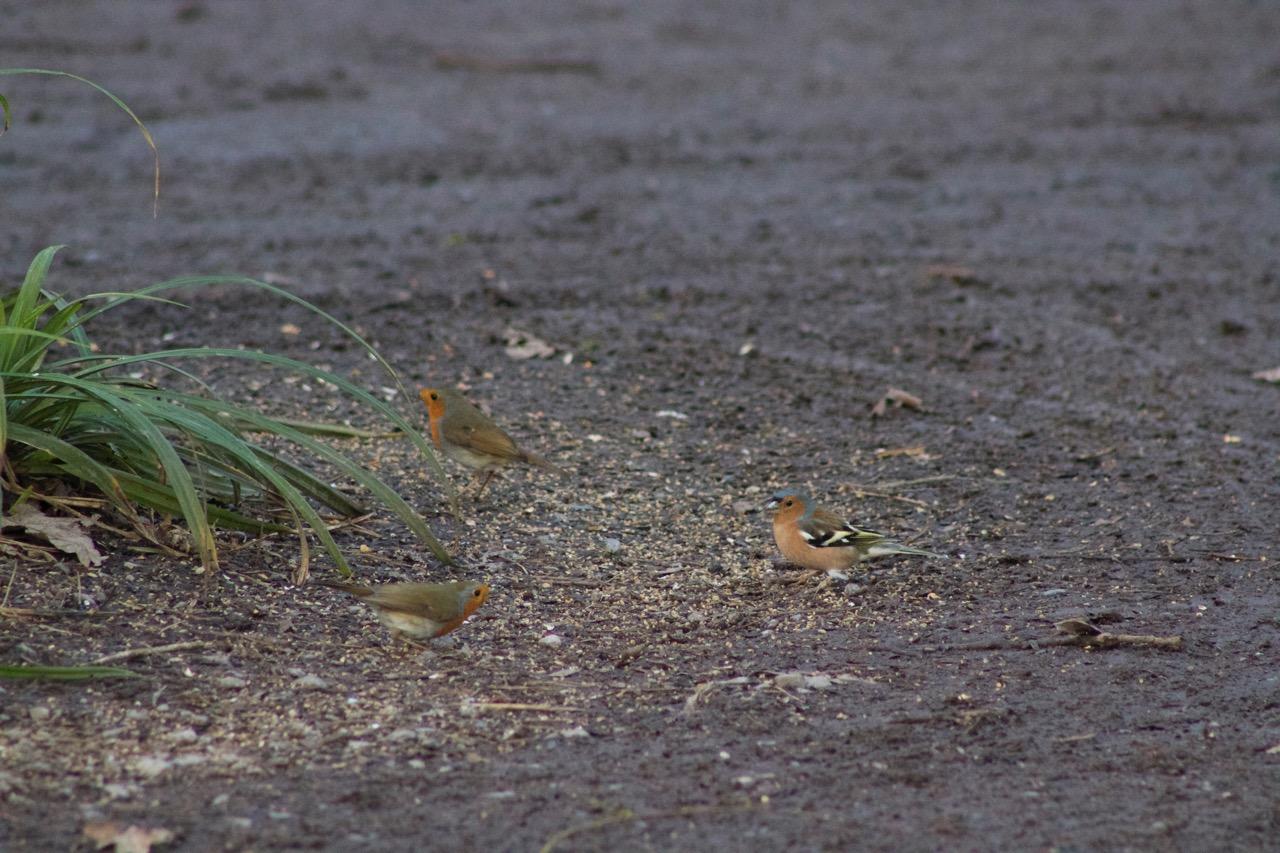 червеношийки и чинка