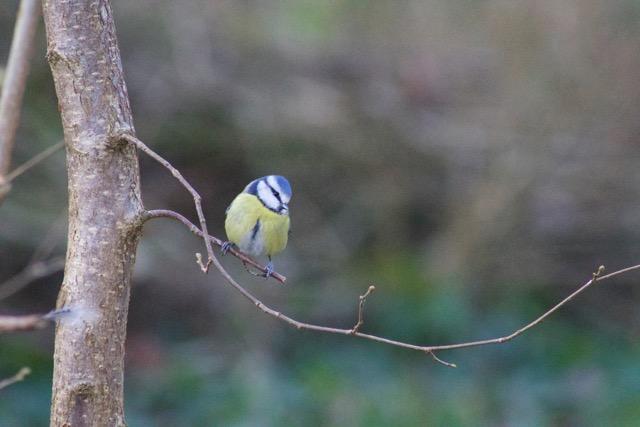 син синигер, Parus caeruleus